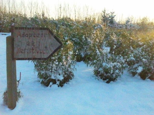Een mooie foto van de kerstbomen van adopteereenkerstboom.nl
