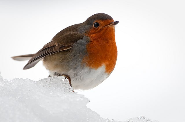How to Trap a Robin Bird foto