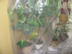 Plants kept in plastic bags 004