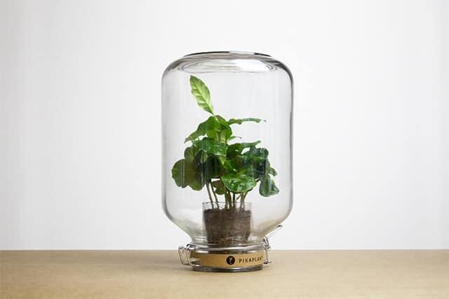 Coffea - plant in een pot - Pikaplant
