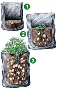 potato-stages