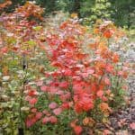 Forthergilla gardenii of lampenpoetser | Vergeten planten