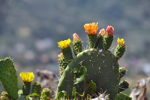 cactus-in-bloei