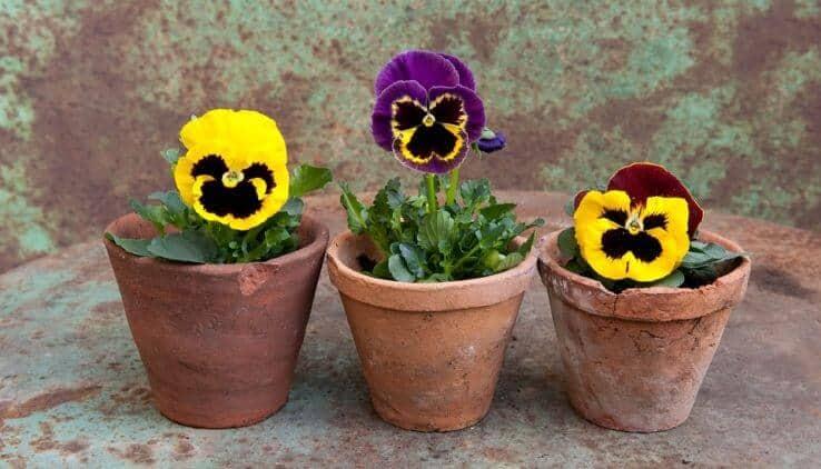 viooltjes in een kleine pot
