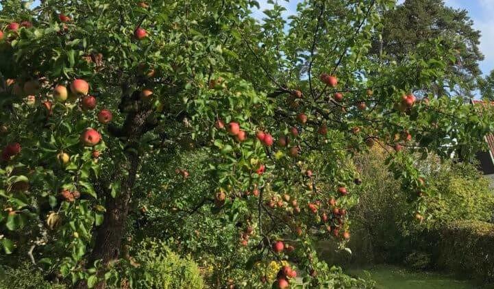 appelbomen zie je overal in Zweden
